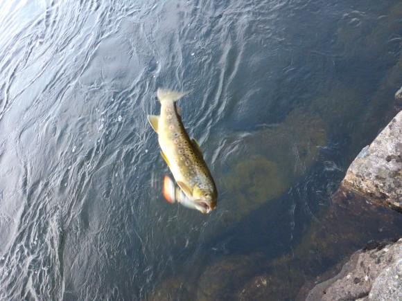 Den här synen var den vanligaste idag. Fiskar på mellan 20-30cm.